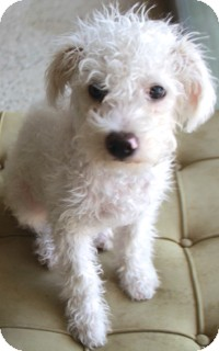 Poodle (Miniature)/Terrier (Unknown Type, Small) Mix Dog for adoption in Norwalk, Connecticut - Charlie