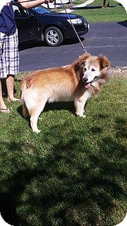 Golden Retriever/Sheltie, Shetland Sheepdog Mix Dog for adoption in Naperville, Illinois - Smokey