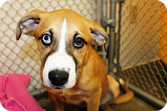 Collie/Boxer Mix Dog for adoption in Kalamazoo, Michigan - Nellie