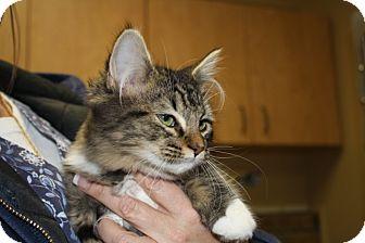Domestic Longhair Cat for adoption in Armuchee, Georgia - Krissi