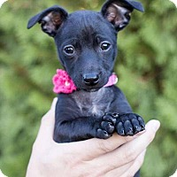 Adopt A Pet :: Lilli - West Richland, WA