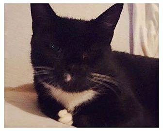 American Shorthair Cat for adoption in New City, New York - Sonja