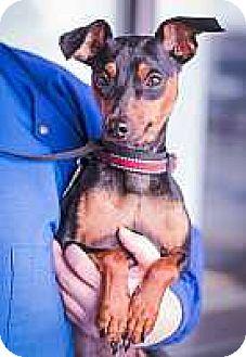 Miniature Pinscher Dog for adoption in Syracuse, New York - Jack