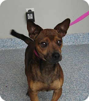 Terrier (Unknown Type, Small)/Chihuahua Mix Dog for adoption in Stillwater, Oklahoma - Oscar