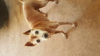 Miniature Pinscher Dog for adoption in Edmond, Oklahoma - Sir