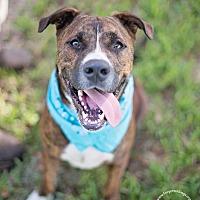 Adopt A Pet :: Walter - Houston, TX