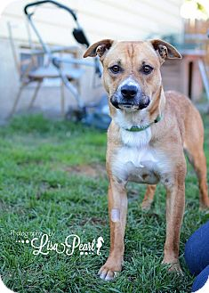 Pit Bull Terrier/Beagle Mix Dog for adoption in Calgary, Alberta - Red