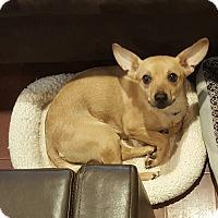 Adopt A Pet :: Dingo - Raritan, NJ