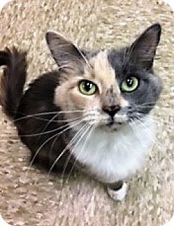Domestic Mediumhair Cat for adoption in Medina, Ohio - Hanna