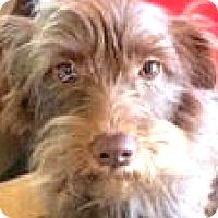 Adopt A Pet :: Cedar-ADOPTION PENDING - Boulder, CO