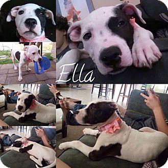American Bulldog/American Staffordshire Terrier Mix Puppy for adoption in Phoenix, Arizona - Ella