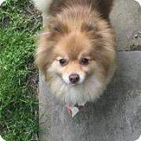 Adopt A Pet :: Simba - Parsippany, NJ