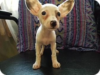 Chihuahua Mix Puppy for adoption in Allentown, Pennsylvania - Nymph