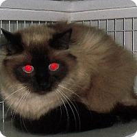 Adopt A Pet :: Blue Eyes - Gunnison, CO