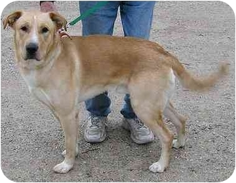 Labrador Retriever Mix Dog for adoption in Glenwood, Minnesota - Buster