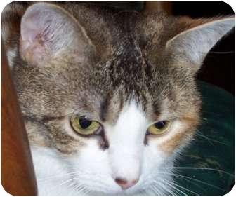 Calico Cat for adoption in Haughton, Louisiana - Tabby