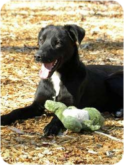 Labrador Retriever Mix Dog for adoption in Hamburg, Pennsylvania - ELVIS