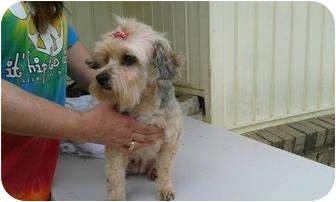 Yorkie, Yorkshire Terrier Mix Dog for adoption in Remlap, Alabama - Mopsy