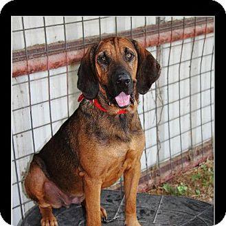 Bloodhound/Hound (Unknown Type) Mix Dog for adoption in Comanche, Texas - Becca