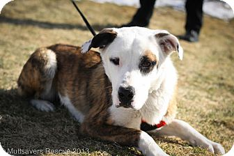 St. Bernard Mix Puppy for adoption in Broomfield, Colorado - Darby
