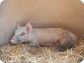 Pig (Farm) for adoption in West Los Angeles, California - Sophia
