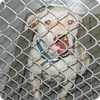 Adopt A Pet :: Pit mix-animal control - Dundas, VA