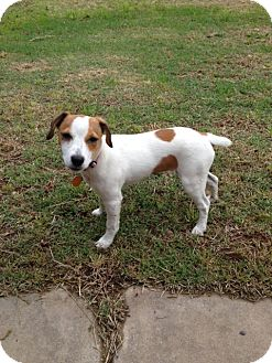 Jack Russell Terrier Puppy for adoption in Houston, Texas - Jelly Bean in Beaumont