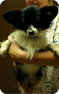 Papillon/Chihuahua Mix Dog for adoption in Harmony, Glocester, Rhode Island - Reagan