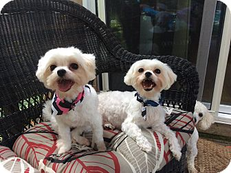 Maltese Dog for adoption in Englewood, New Jersey - Daisy