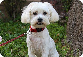 Maltese Mix Dog for adoption in Los Angeles, California - Christine