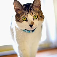 Domestic Shorthair Cat for adoption in Eagan, Minnesota - Sophia