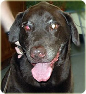 Labrador Retriever Dog for adoption in Kirkland, Quebec - Chuck