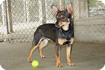 Chihuahua Mix Dog for adoption in Ruidoso, New Mexico - Healy