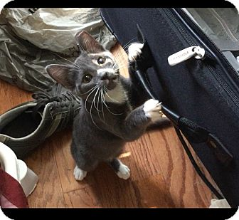 Russian Blue Cat for adoption in Flower Mound, Texas - Boris