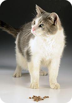 Domestic Shorthair Cat for adoption in Cincinnati, Ohio - Rico