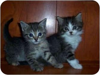 Domestic Shorthair Kitten for adoption in Port Hope, Ontario - Kittens