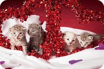 Domestic Shorthair Kitten for adoption in Dallas, Texas - Rey