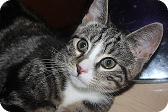 Domestic Shorthair Kitten for adoption in Little Falls, New Jersey - Jeremy (LE)