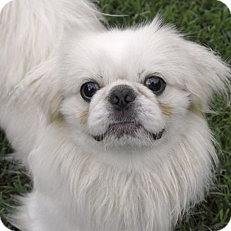 Pekingese Mix Dog for adoption in FOSTER, Rhode Island - Peekaboo