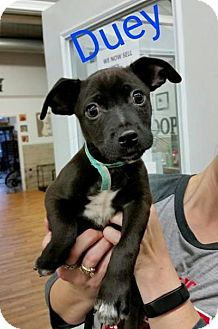 Chihuahua/Pug Mix Puppy for adoption in Plainfield, Illinois - Duey