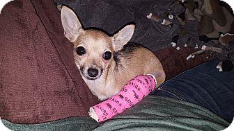 Chihuahua Mix Dog for adoption in Grand Rapids, Michigan - Tina