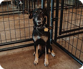 Manchester Terrier/Rottweiler Mix Dog for adoption in Apache Junction, Arizona - Mumbles