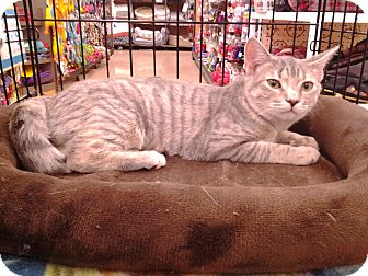 Domestic Shorthair Cat for adoption in Richmond, Virginia - Abby