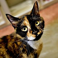 Adopt A Pet :: Talulah - Denver, CO