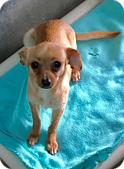 Chihuahua Mix Dog for adoption in Fort Wayne, Indiana - Pearlie