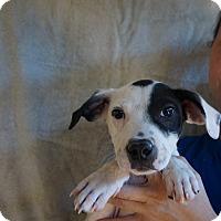 Adopt A Pet :: Dingo - Oviedo, FL