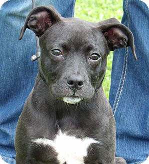 Labrador Retriever/Tosa Inu Mix Puppy for adoption in Twinsburg, Ohio - Sophie (22 lb) Video