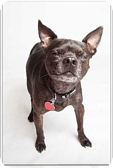 Chihuahua/Boston Terrier Mix Dog for adoption in Mustang, Oklahoma - Eli