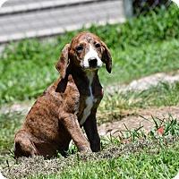 Adopt A Pet :: Betinna - South Dennis, MA
