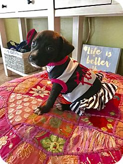 Mixed Breed (Medium)/Labrador Retriever Mix Puppy for adoption in Ft. Myers, Florida - Maggie Twilight Sparkle